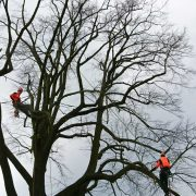 Baumpflege Sven Neumann beim Beschneiden einer Linde